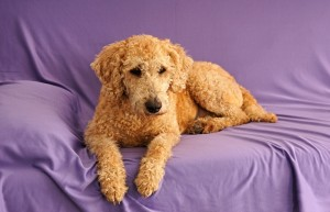 Cute dog australian labradoodle on couch